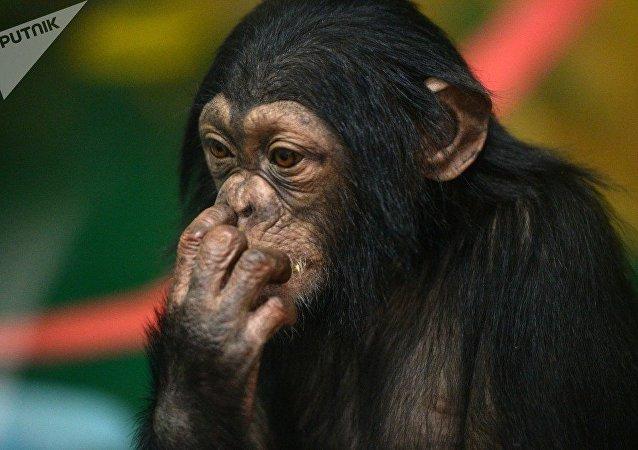 黑猩猩吃龜肉像吃堅果一樣 (視頻)
