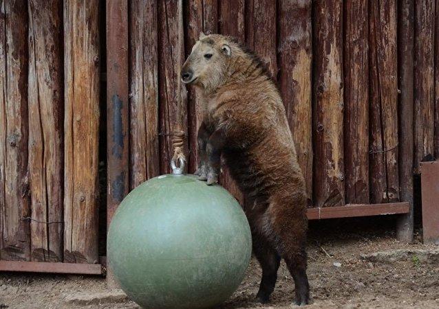 一隻四川羚牛在莫斯科動物園出生