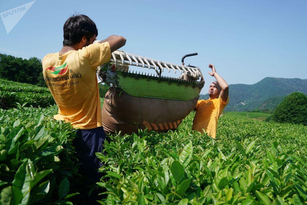 索契茶葉採摘