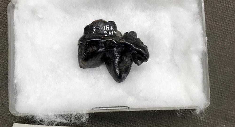 古代鬣狗牙齒