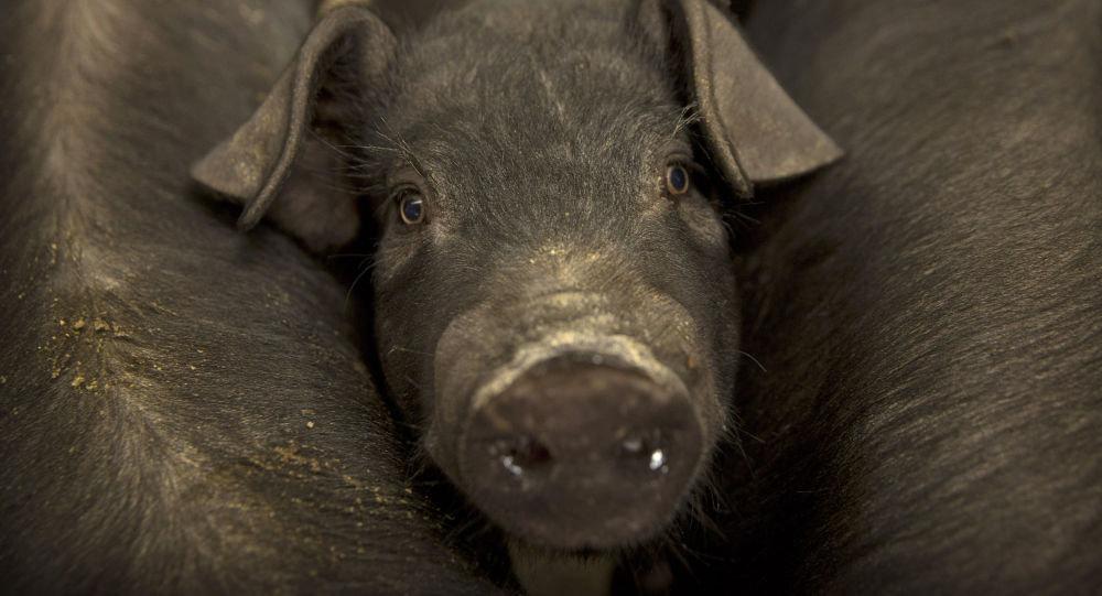 中國農業農村部:今年全球非洲豬瘟疫情形勢十分嚴峻