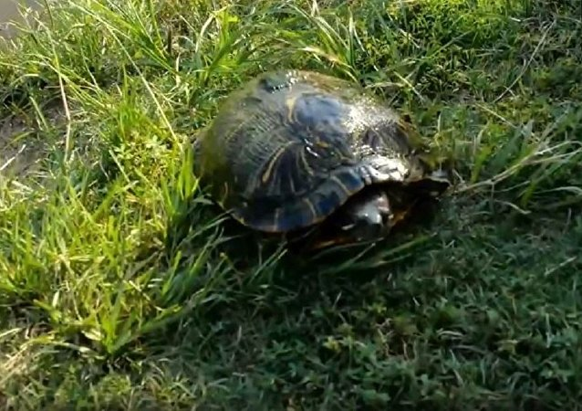 美國男子給烏龜帶上攝像頭驚倒網民