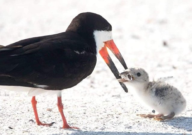 一隻試著餵雛鳥煙頭的鳥被拍下