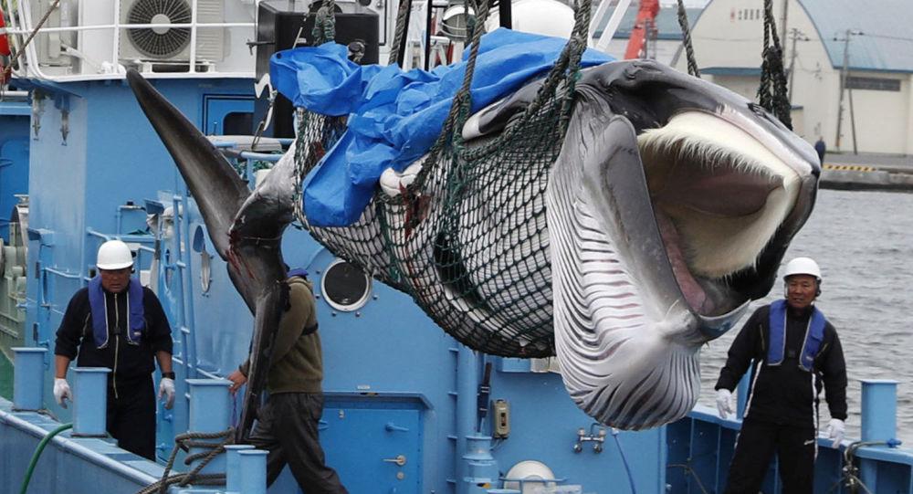 日本的陷阱:恢復商業捕鯨將如何影響國家形象?