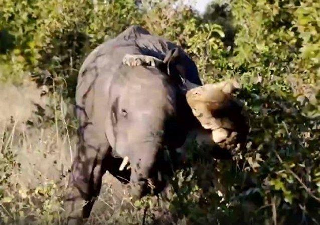 獅子PK大象 誰將成為贏家?