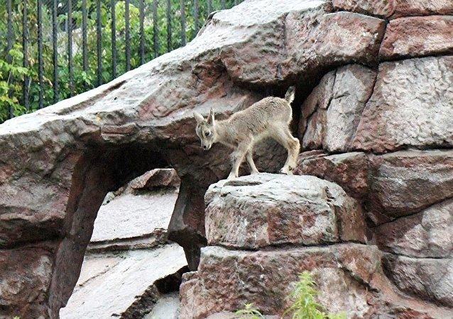 莫斯科動物園誕生一隻岩羊