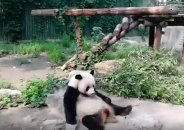 北京動物園遊客用石頭砸大熊貓