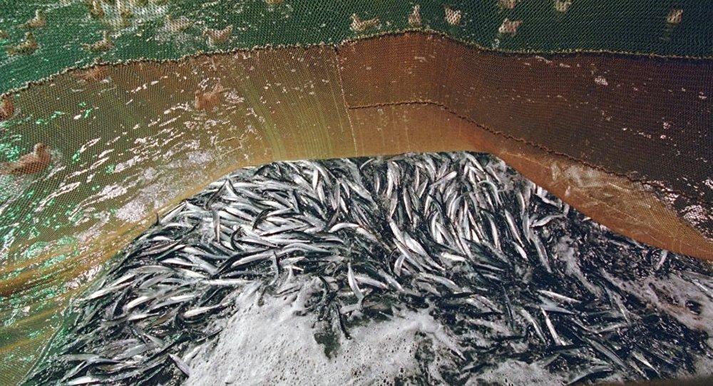 秋刀魚捕撈