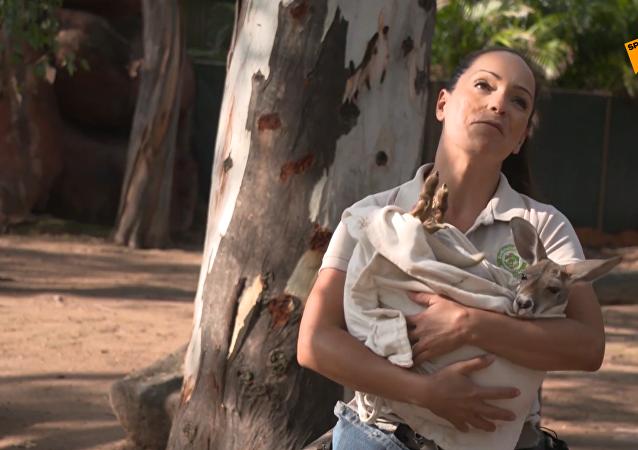 墨西哥小袋鼠失去母親後被收養
