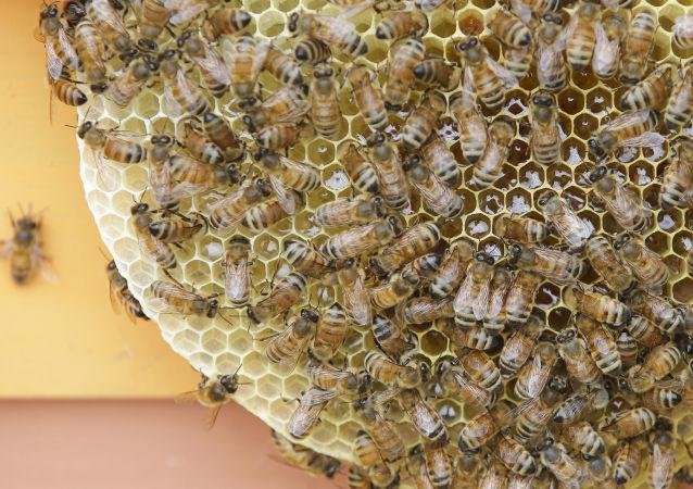俄農業部:蜜蜂死亡不會帶來農作物產量下滑的風險