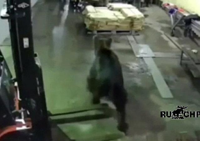 薩哈林一頭熊嚇跑魚廠員工
