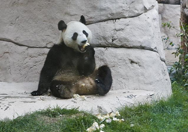 莫斯科動物園大熊貓