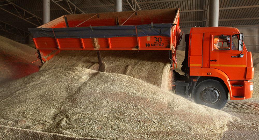 Выгрузка пшеницы