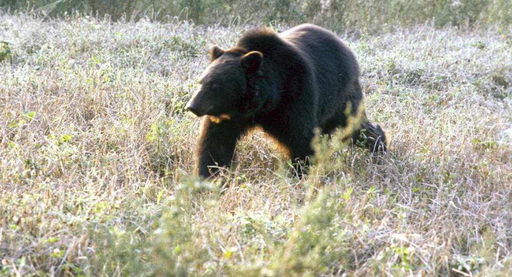 堪察加一條旅遊路線被70頭餓熊封鎖