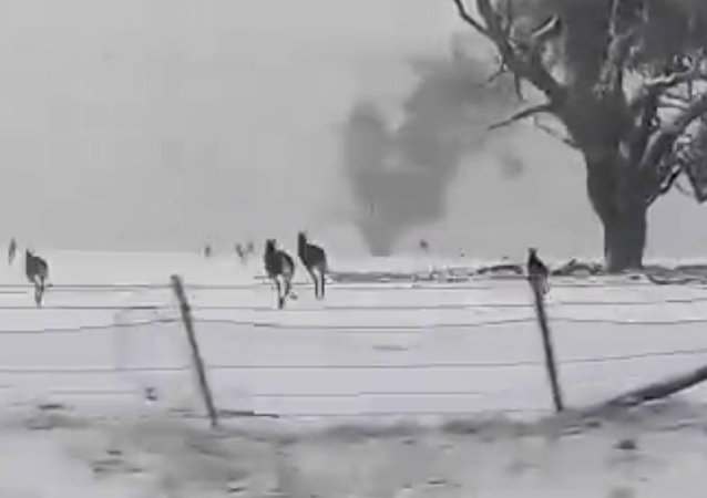 雪中的澳大利亞袋鼠興奮異常