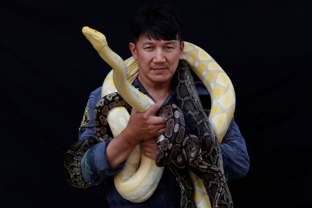 著名的捕蛇手、消防員Pinyo Pukpinyo 同在曼谷捕到的黃金蟒為攝影師擺造型。