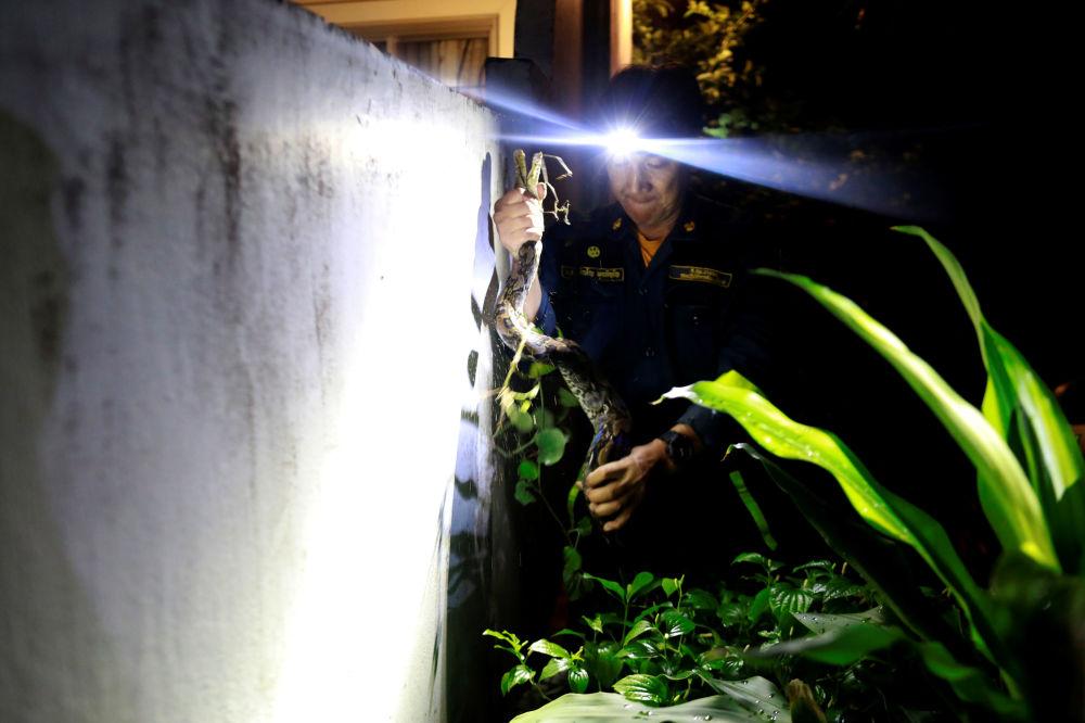 消防員Pinyo Pukpinyo在曼谷捕捉蟒蛇。