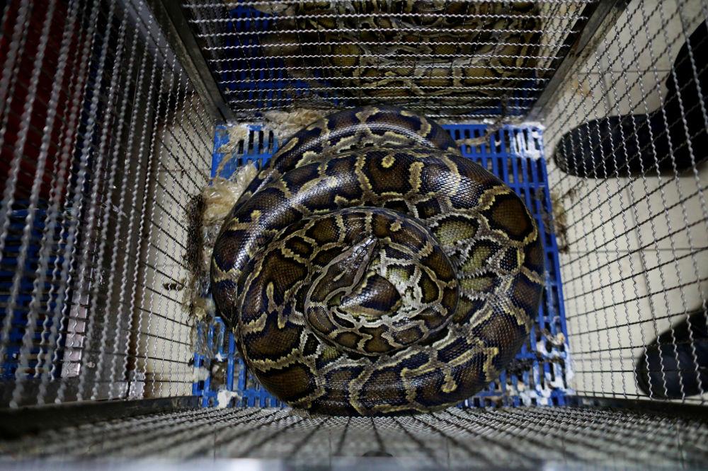 曼谷消防站內籠底蜷著的蛇。