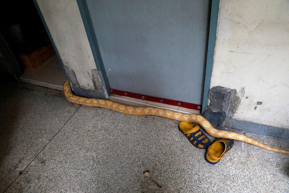 泰國曼谷消防車車庫內的蟒蛇。