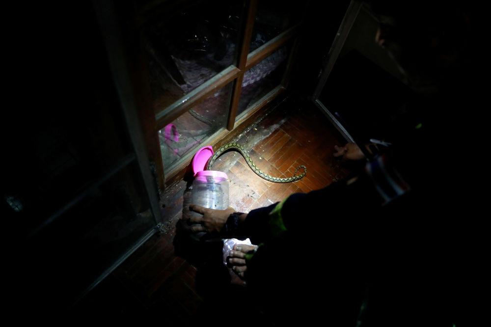 泰國曼谷消防員Pinyo Pukpinyo在家裡抓蟒蛇。
