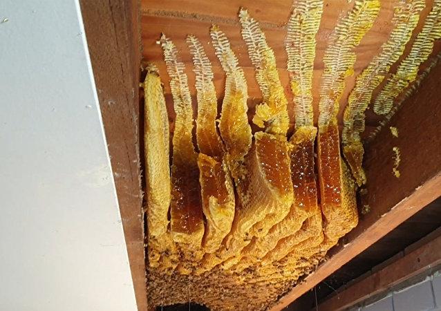 蜜蜂在澳大利亞婦女家裡的天花板上留下50公斤蜂蜜
