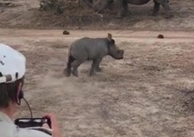 南非一頭小犀牛險些撞壞遊客乘坐的吉普車