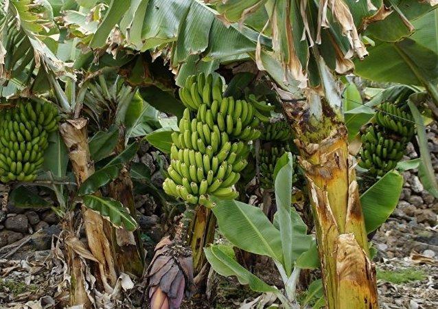 到2050年氣候變化或將導致香蕉消失