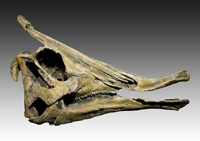 鴨嘴龍的顱骨