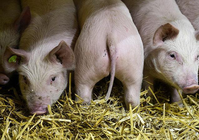專家預測非洲豬瘟將致全球四分之一的豬死亡