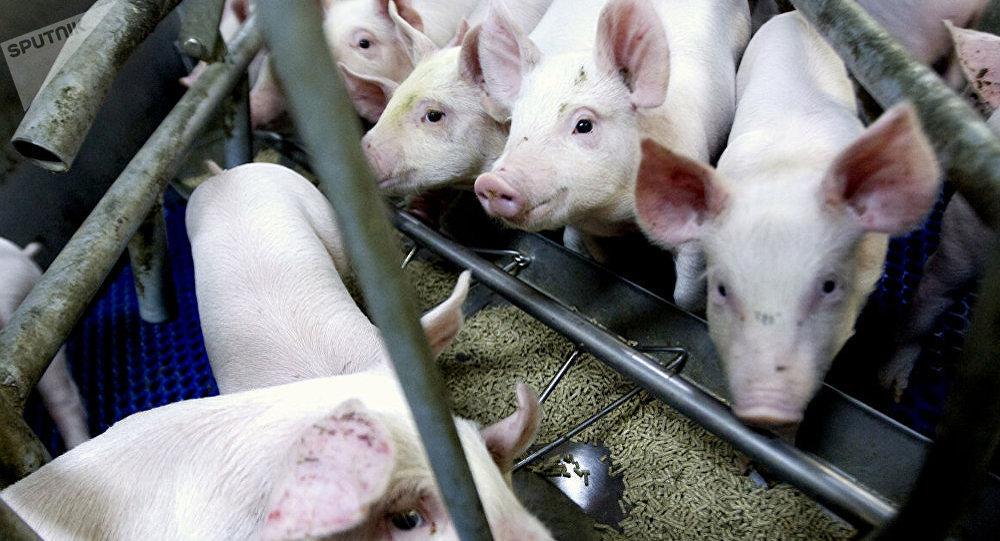 中國農業農村部:內蒙古鄂爾多斯從外省違規調入仔豬中排查出非洲豬瘟疫情