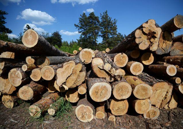 俄海關總署2019年偵辦木材走私犯罪案件206起總計案值42億盧布