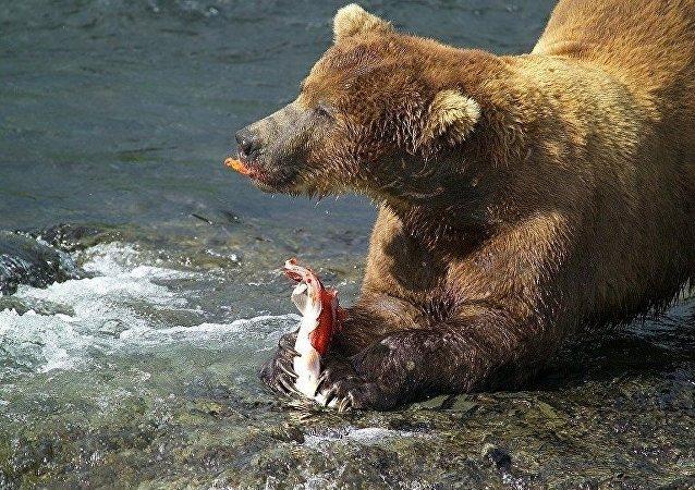 Бурый медведь на рыбалке