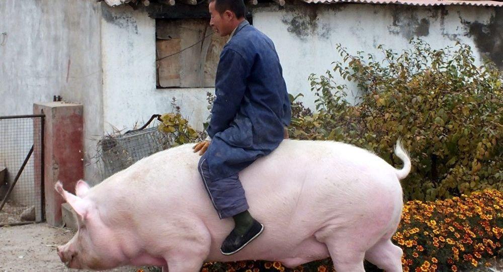 專家:養巨型豬不符合科學飼養規律