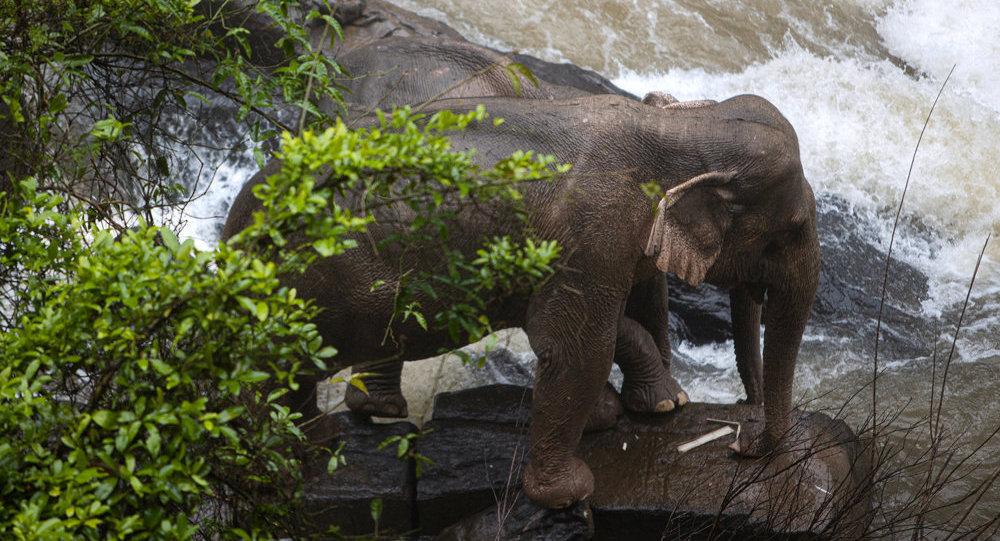 新冠疫情威脅泰國旅遊業的大象生存