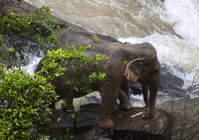 泰國一農民被大象踩死