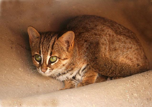 俄羅斯首次購進亞洲最小貓科動物