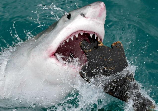 新西蘭衝浪者徒手擊退大白鯊