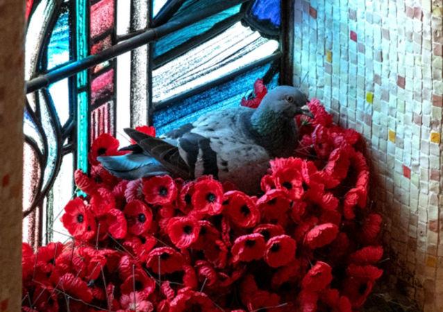 鴿子用戰爭紀念館裡的罌粟花築巢