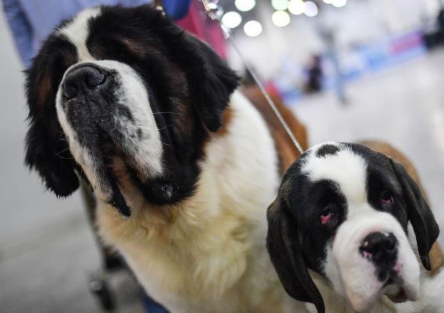 俄緊急情況部解釋為何聖伯納犬不再用作搜救犬