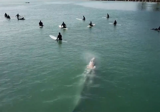 加州巨鯨游近衝浪者