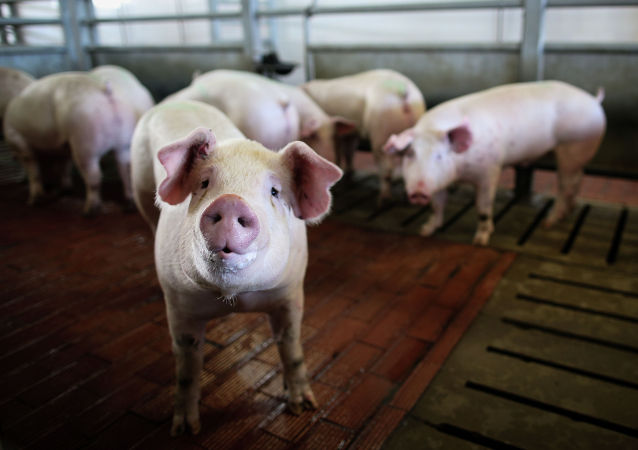 俄媒:中國正計劃恢復養豬業