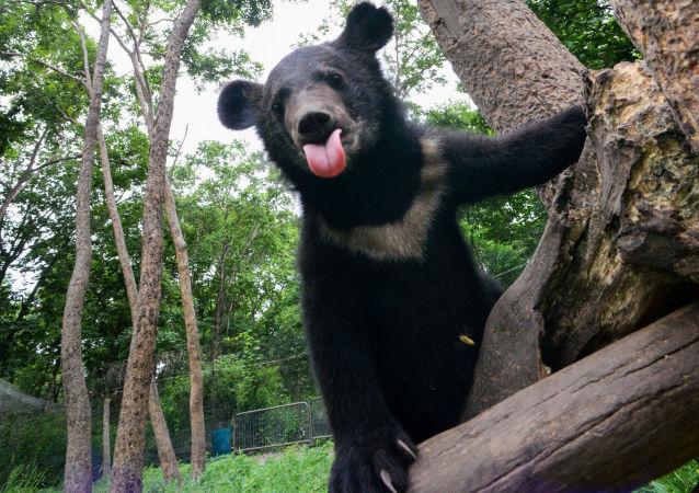 喜馬拉雅熊