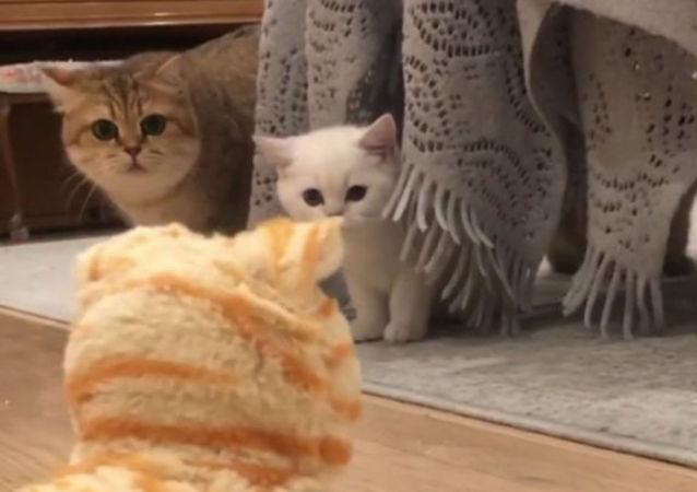 「喵喵叫」測試:好奇貓咪細瞧「機器貓」