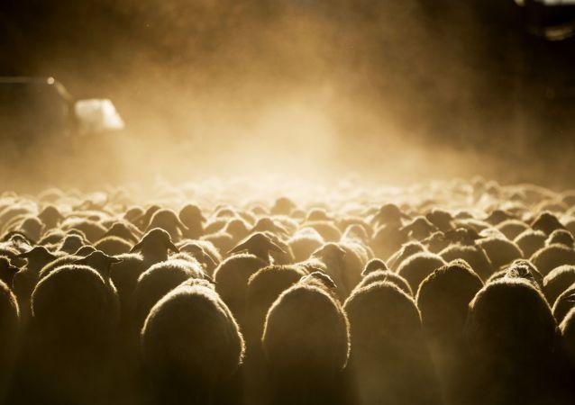 蒙古開始正式向中國移交蒙總統訪華期間宣佈捐贈的3萬只活羊