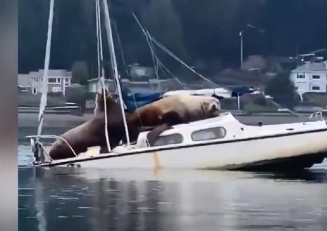 海獅佔據遊艇