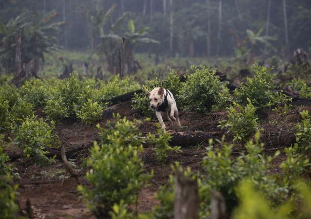哥倫比亞去年銷毀古柯種植面積創紀錄