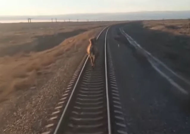 俄羅斯火車因鐵道上的駱駝晚點
