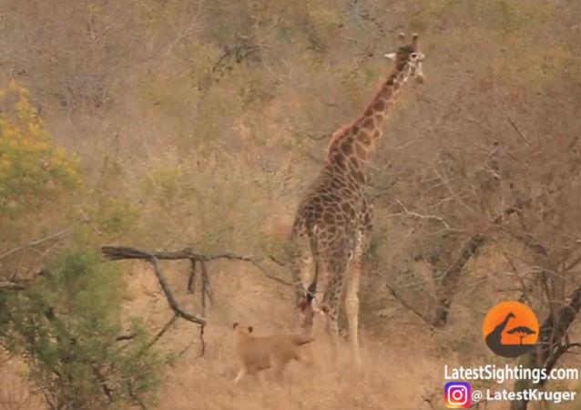 遊客拍下八隻母獅圍攻一頭長頸鹿