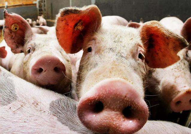 德國一家豬肉企業發生新冠病毒聚集性感染 中國海關暫停該企業對華出口
