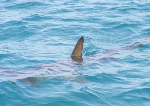 巨大鯊魚試圖從俄羅斯漁民手中搶走海魚